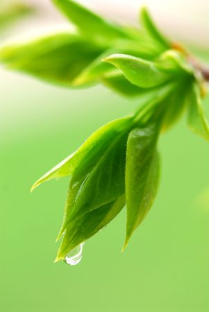 Spring green budding leaves with raindrops closeup photo