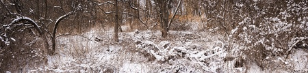 Winter panoramic landscape of trees and plants in forest with snow Stock Photo - 17664351