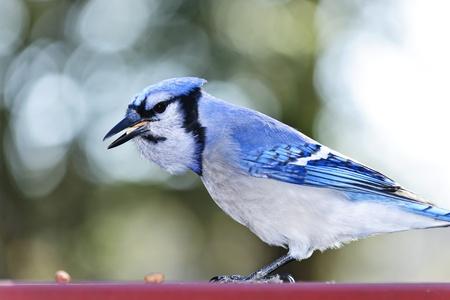 jay: Closeup of blue jay bird eating peanuts