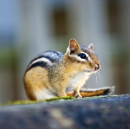 Wilde Eichhörnchen hautnah hockend auf Holzscheit