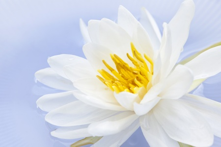 nymphaeaceae: White lotus flower or water lily floating