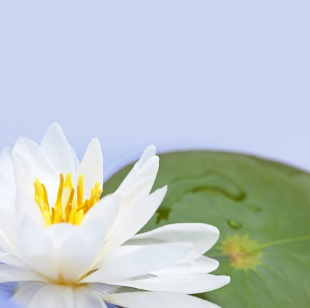 lilypad: White lotus flower or water lily floating with copy space