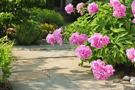 Sommergarten mit gepflasterten Pfad und blühende Blumen rosa Pfingstrose