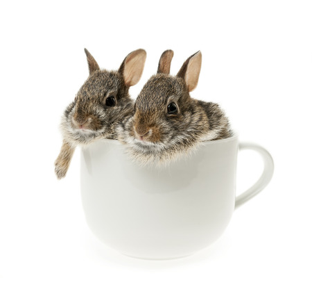 Two baby wild cottontail rabbits in coffee mug isolated on white background photo