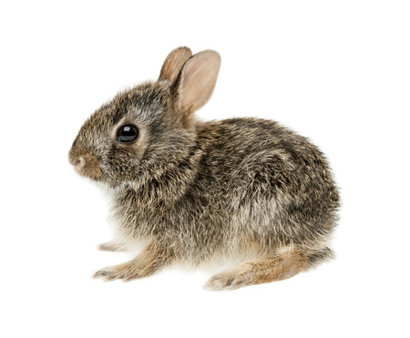 Portrait of baby cottontail bunny rabbit isolated on white background photo