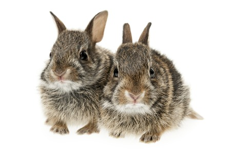 loveable: Portrait of two baby wild cottontail rabbits isolated on white background