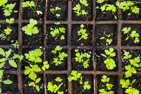 transplants: Seedlings of herbs and vegetables growing in grid starter tray