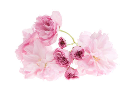 Pink cherry blossom flowers close up isolated on white background