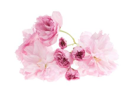 Pink Kirschblüte Blumen close up isoliert auf weißem Hintergrund Standard-Bild