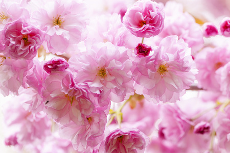 budding: Pink cherry blossom flowers on flowering tree branch blooming in spring Stock Photo