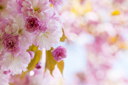 flowering plant: Pink cherry blossom flowers on flowering tree branch blooming in spring orchard with copy space Stock Photo
