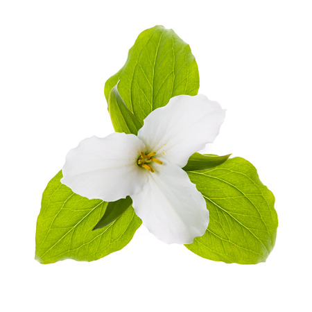 trillium: Trillium Ontario provincial flower with leaves isolated on white background