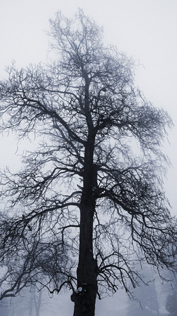 Single tall leafless tree in winter fog photo
