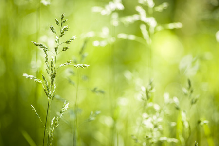 Summer flowering grass and green plants in June sunshine with copy space photo