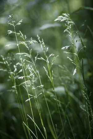Summer flowering grass and green plants on June evening photo
