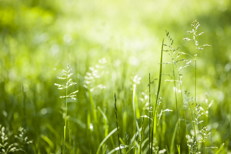 grasses: Summer flowering grass and green plants in June sunshine with copy space