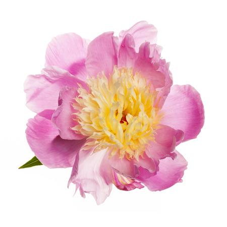 pfingstrosen: Rosa und gelbe Pfingstrose Blume auf weißem Hintergrund Lizenzfreie Bilder