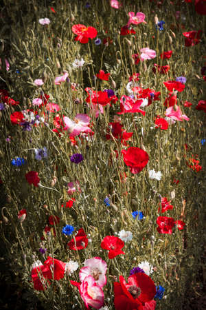 Red and pink poppies with other wildflowers in summer meadow photo