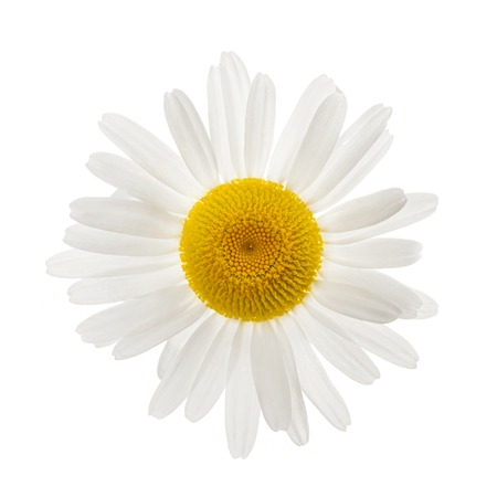 One daisy flower from above isolated on white background photo