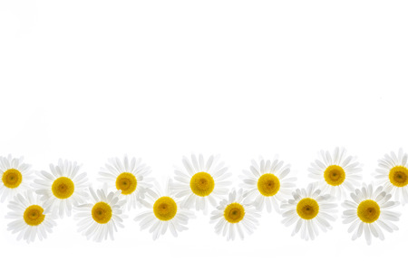 oxeye: Flower border of oxeye daisies isolated on white background