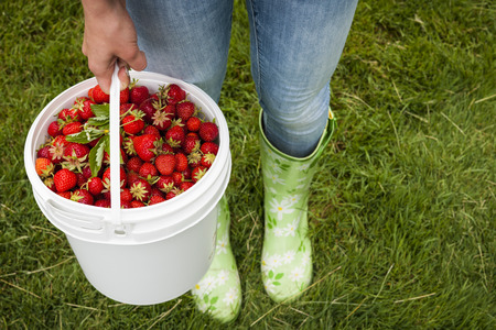 freshly picked: Woman holding bucket of freshly picked strawberries on green grass outside in garden Stock Photo
