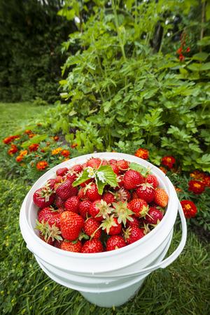freshly picked: Bucket of freshly picked strawberries in summer garden