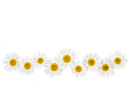 oxeye: Flower border of oxeye daisies isolated on white  Stock Photo