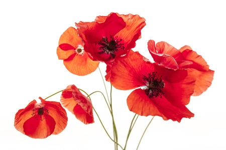 poppies: Several red poppy flowers isolated on white