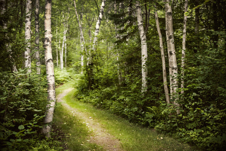 Hiking trail in lush green summer forest with white birch trees Stock Photo