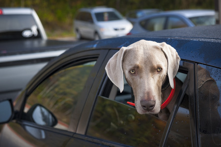 locked: One weimaraner dog looking out of car window in parking lot