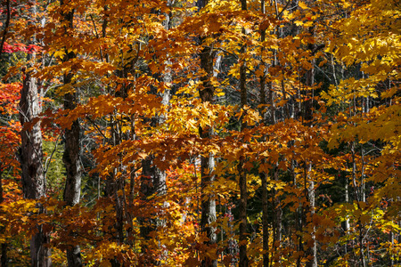 provincial forest parks: Autumn maple trees with orange foliage in sunny fall forest of Algonquin provincial park, Ontario, Canada. Stock Photo