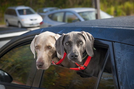 Two weimaraner dogs looking out of car window in parking lot photo