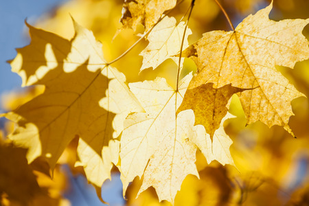 Orange and yellow backlit fall maple leaves glowing in autumn sunshine with blue sky photo