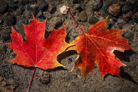 Two red fall maple leaves  floating in shallow lake water with rocks on bottom photo