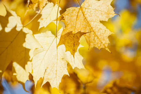 Orange and yellow backlit fall maple leaves glowing in autumn sunshine with copy space photo