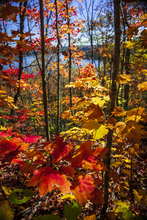 provincial forest parks: Foliage of colorful fall maple trees in autumn forest viewed from Lookout trail at Algonquin Park, Ontario, Canada.