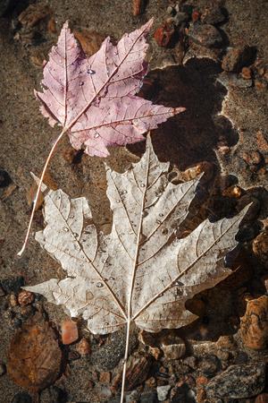 Two fall maple leaves  floating in shallow lake water with sandy bottom photo
