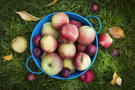 harvests: Fresh organic apples in blue pail on green grass from above Stock Photo