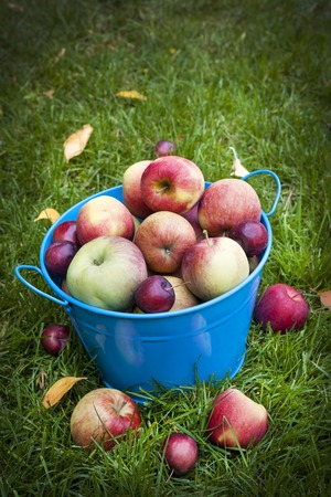 Fresh organic apples in blue pail on green grass with copy space photo