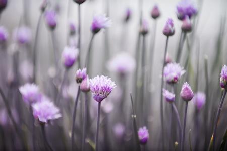 Purple flowers of flowering chives in garden photo