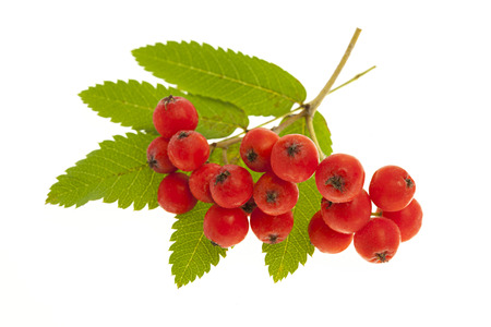 mountain ash: Red mountain ash or rowan berries isolated on white background