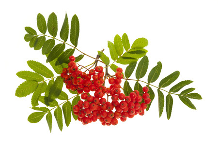 ashes: Bunch of red mountain ash or rowan berries with green leaves isolated on white background Stock Photo