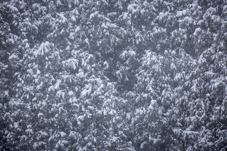 cedars: Background of cedars covered in snow during blizzard Stock Photo