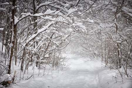 overhanging: Snowy path through forest with heavy branches under snow in winter blizzard. Ontario, Canada.