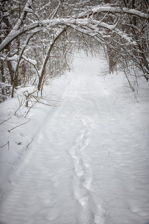 Footprints on snowy path through forest with heavy branches under snow in winter blizzard. Ontario, Canada. photo
