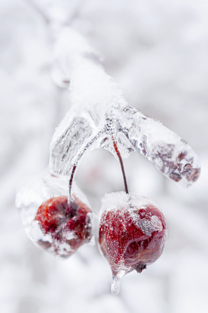 Two red crab apples frozen and covered with ice on snowy branch in winter, close up photo