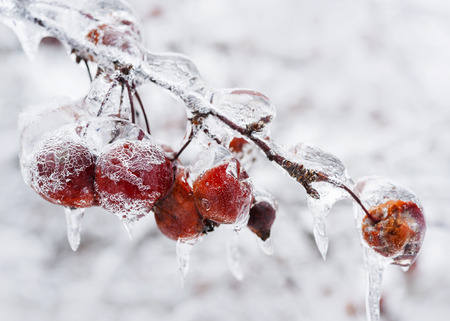 Red crab apples on branch frozen with ice in winter photo