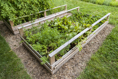 with raised: Backyard vegetable garden in wooden raised beds or boxes