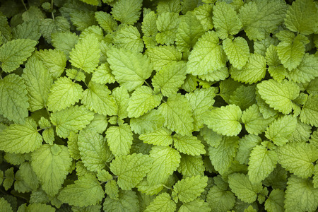 balm: Green lemon balm herb leaves growing in herbal garden from above