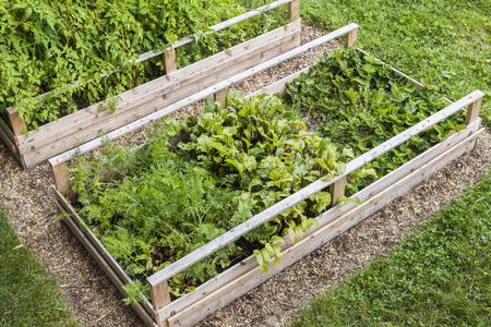 mulch: Backyard vegetable garden in wooden raised beds or boxes